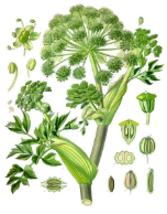 Angelica Seed oil, France