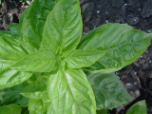 Basil oil, ct. citral (lemon basil), USA