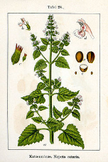 Catnip oil, Lemon, France