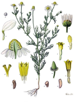 Chamomile, German (blue), Bulgaria