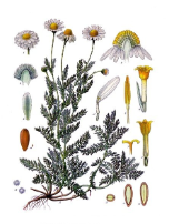 Chamomile oil, Roman, USA