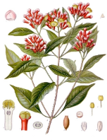 Clove Bud oil, Wild, (dark, unrect.) Madagascar