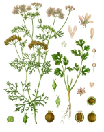Coriander oil, USA